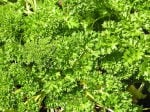 640px_parsley